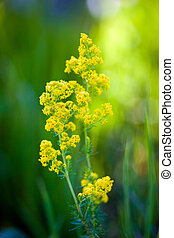 Blooming goldenrod flower on green meadow