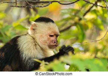White-Faced Monkey - Cute white-faced monkey, or Capuchin,...