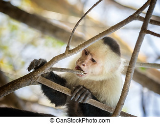 White-Faced Monkey - Cute white-faced monkey, or Capuchin,...