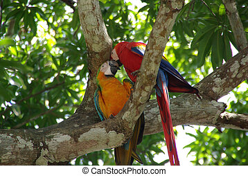 Parrots in Costa Rica - Colorfu parrots in the forests of...