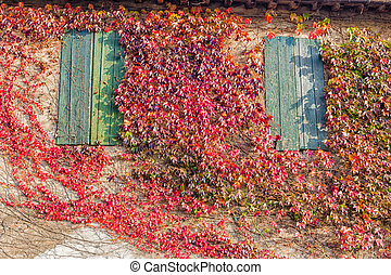 Japanese creeper and old windows - Red, green and orange...