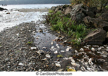 Clams in Tide Pool - Clams in a tide pool. Shot in North...