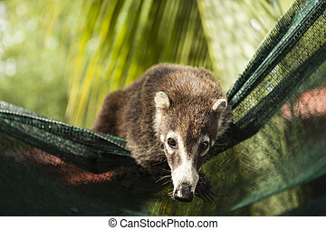 Hanging About - Female white nosed coati uses landscape...