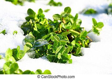 Spring green grass in snow
