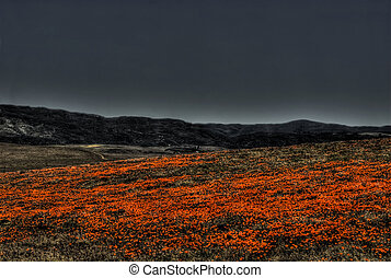 Nightime Poppy Field - A field of bright orange California...