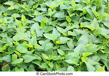 sweet potato crop