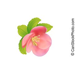 Flower of Japanese Quince (Chaenomeles japonica) isolated on...