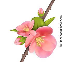 Branch with buds of Japanese Quince (Chaenomeles japonica) in bloom, springtime awakening, isolated on white background