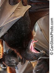 Fruit Bat Mouth Open - Large fruit bat with it\'s mouth wide...