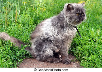 shaggy persian cat - gray shaggy persian cat on grass
