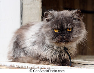 persian cat on window - gray shaggy persian cat on window