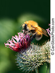 bumble-bee on thistle flower closeup macro