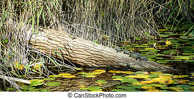 Turtles on a trunk in a pond