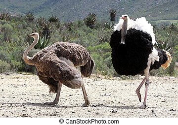Ostrich Breeding Pair - Handsome male ostrich with beautiful...