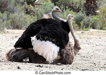 Mating Ostrich Birds - African ostriches with beautiful...