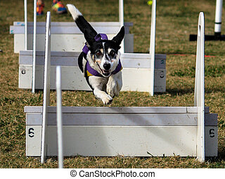 Pet dog jumps through agility race - Dog going over jumps in...