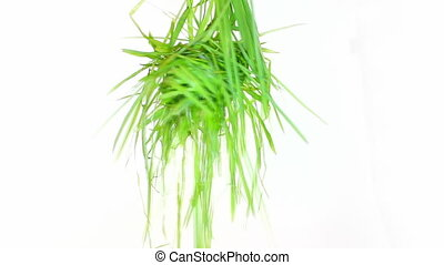 hanging bright green grass isolated - bright green grass on...