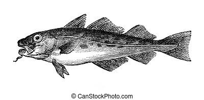 Common Cod - An engraved vintage fish illustration image of...