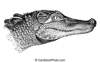 Head Of An Alligator - An engraved image of an alligator...