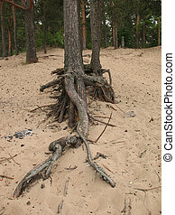Exposed roots of pine trees on the sandy shore