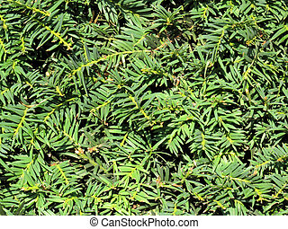 Yew Hedge - Cut taxus baccata yew hedge from a formal garden...
