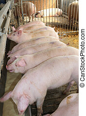 many Pink pigs in the sty of the farm animal breeder - young...