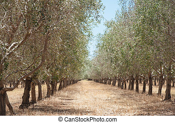 Receding Rows of Olives - Receding avenue of olive trees in...