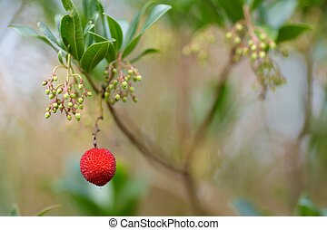 Arbutus unedo berry - Arbutus unedo red berry on the tree