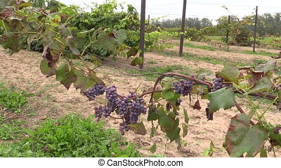 grape plantation - blue organic ripe grape plantation branch...