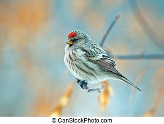 bird common redpoll - beautiful bird common redpoll sittin...