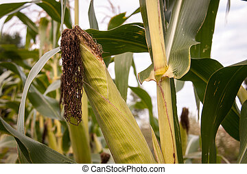 ear of corn - Ripe of ear of corn and the husk