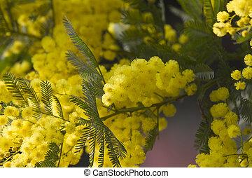 mimosa, fiore