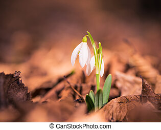 Snowdrops in dry leafs