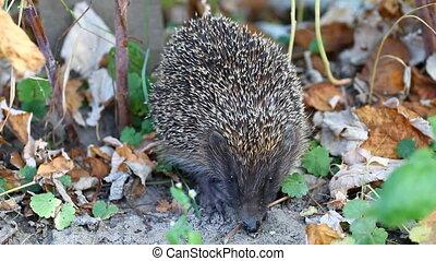 Hedgehog in autum - Hedgehog sitting on ground in autumn