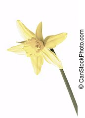 Daff - Single pale yellow daffodil flower