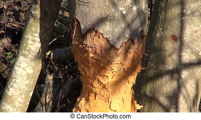 alder tree damage caused by beaver - alder tree damage...