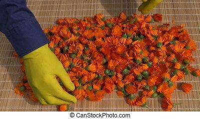 fresh calendula marigold flowers - fresh calendula marigold...