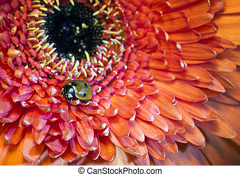 ladybug on a Transvaal daisy flower, the small depth of...