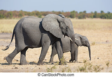 Elephant mother and calf walking while bonding relationship