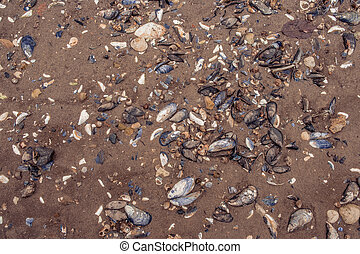 Clam shells in the sand - Many clam shells on a sand beach