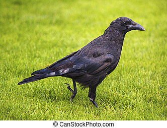 Black crow - Beautiful black crow walking on green grass