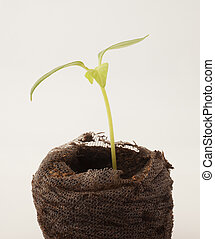 Time to garden - Small green chili plant that is just...
