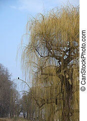 weeping willow and a raven - a blooming weeping willow with...
