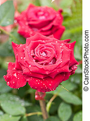Red rose with water drops.