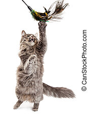 Playful Cat Batting At Feather Toy - Beautiful adult gray...