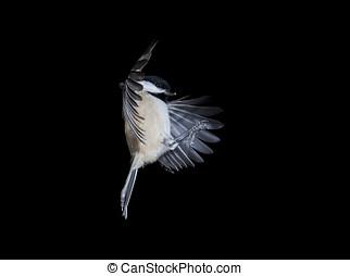 Black Capped Chickadee In Flight