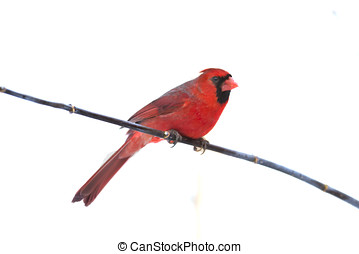 Red Cardinal Perched on stick - red cardinal perched on...