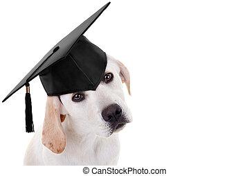 graduación, graduado, perro,