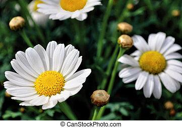 White and yellow daisies - Weiße und gelbe Margeriten in...