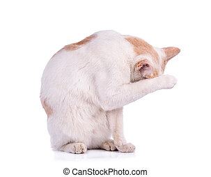 Thai cat isolated on white background - A Thai cat isolated...